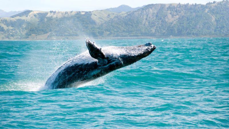 Kaikoura Bay, sperm whales