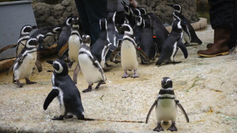 San-Francisco-Zoo penguins