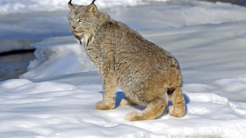 Canadian Lynx - Glacier National Park
