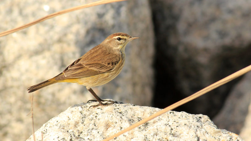 The Colima Warbler