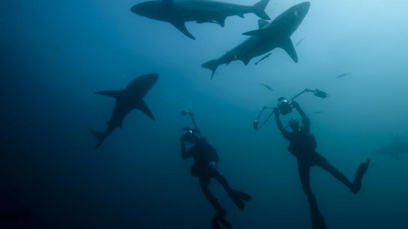 scuba with sharks