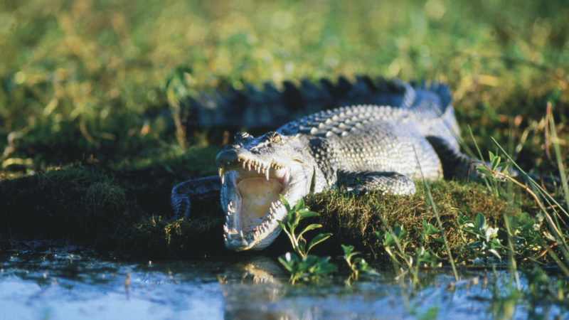Saltwater Crocodile, Photo by: Tourism NT