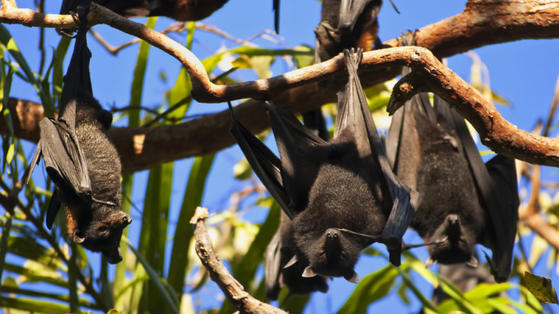 Flying Foxes litchfield