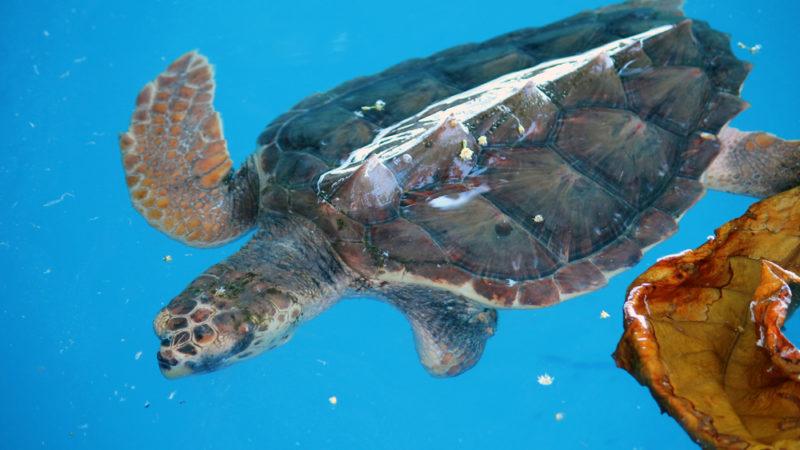 Sea Turtle Brazil