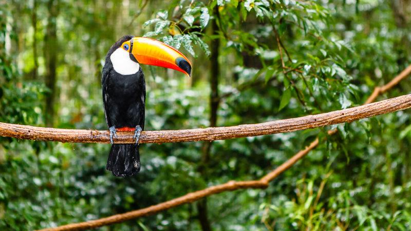 Toucan in Amazon Rainforest