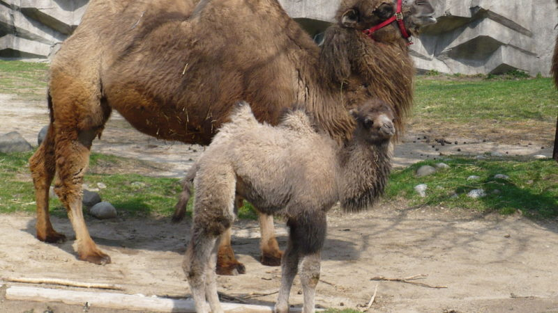 Camels Milwaukee County Zoo