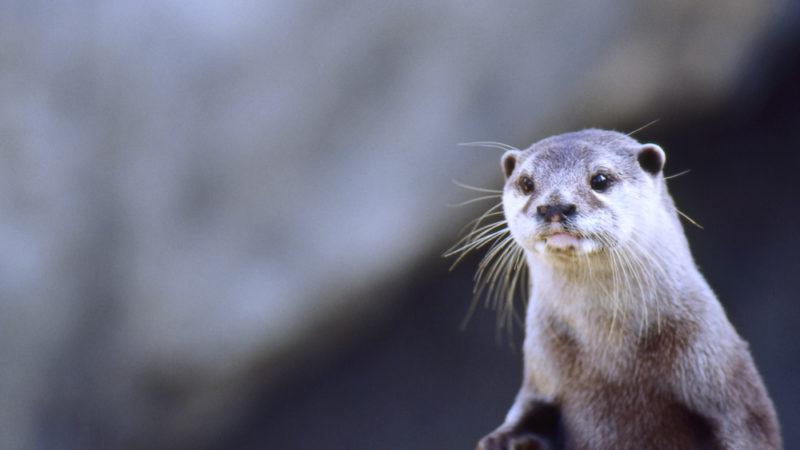 Otter Santa Barbara Zoo California