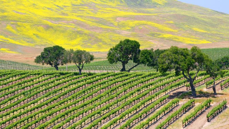 Vineyard Santa Barbara California