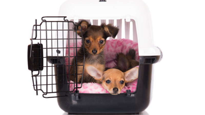 puppies in carrier