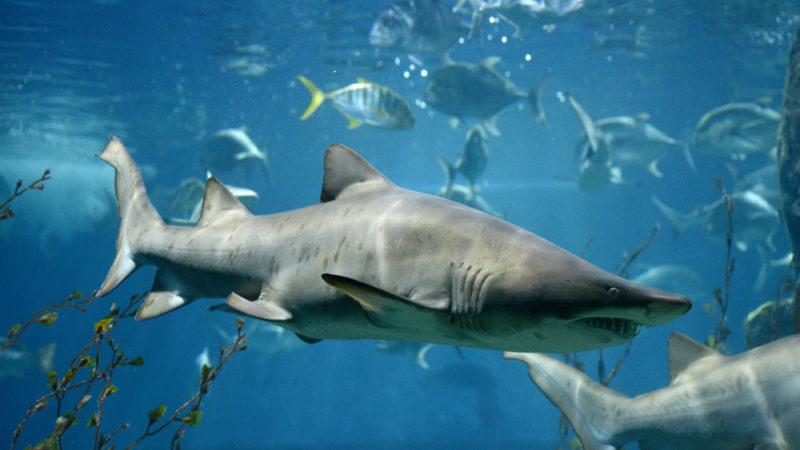Sharks in tank