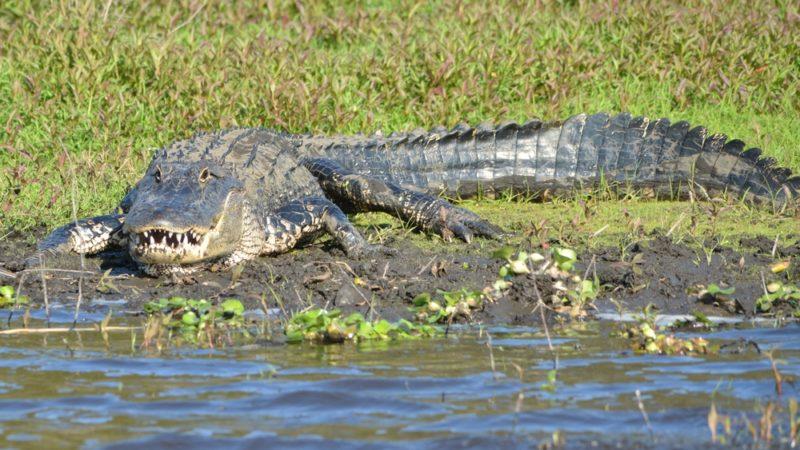 Alligator Myakka park