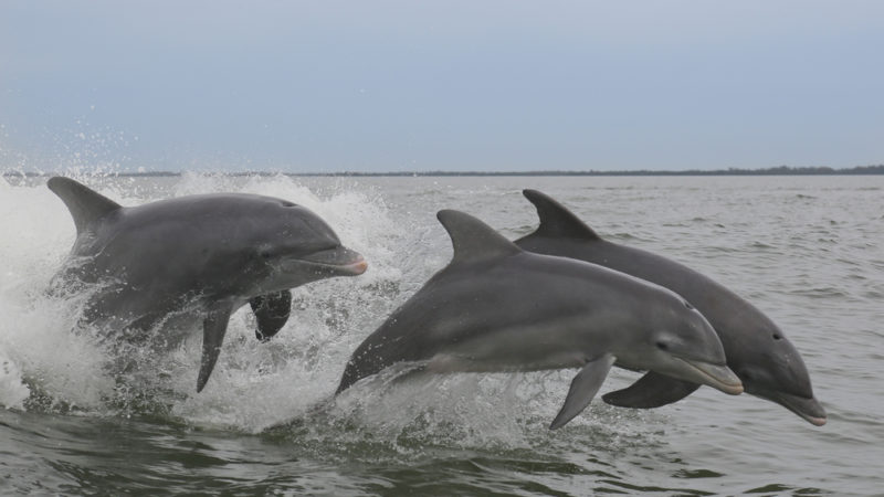 Atlantic Dolphins