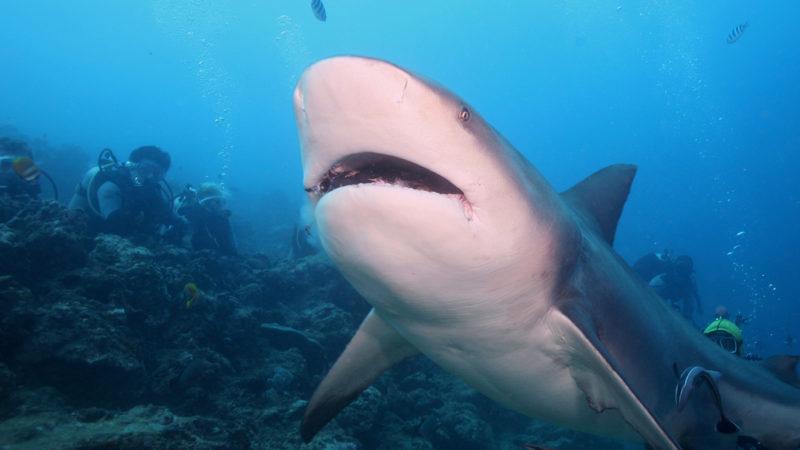Bull Sharks -Fiji