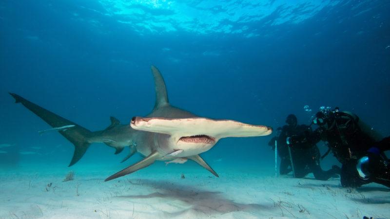 Hammerhead Sharks –Costa Rica
