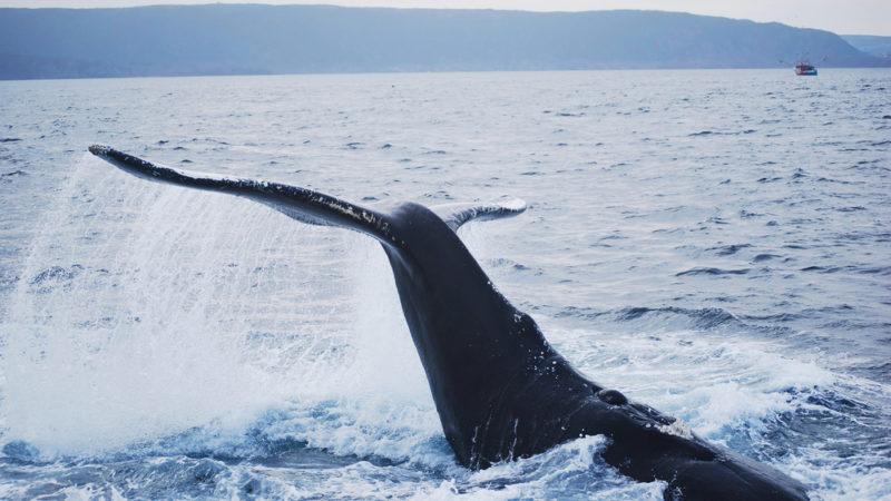 Humpback whale Newfoundland