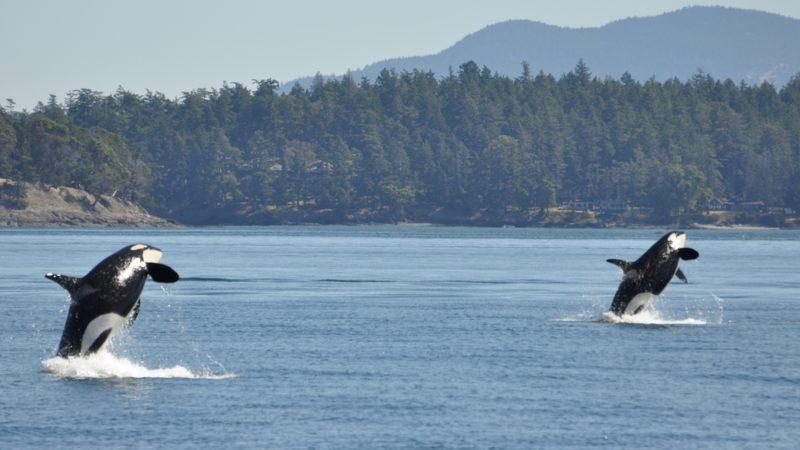 Killer whales BC
