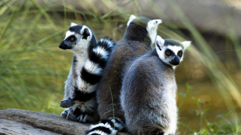 Lemurs Fort Worth Zoo