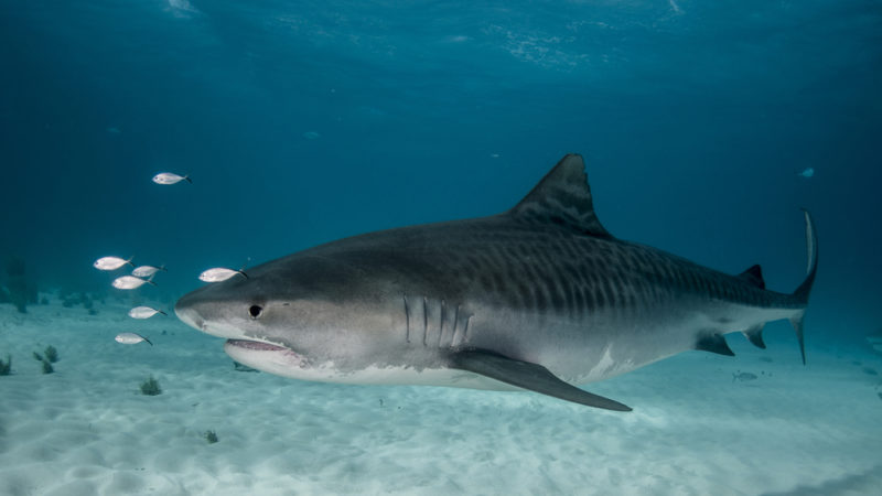 Tiger Sharks -Hawaii