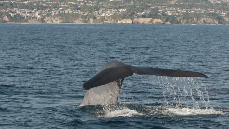 Whale California