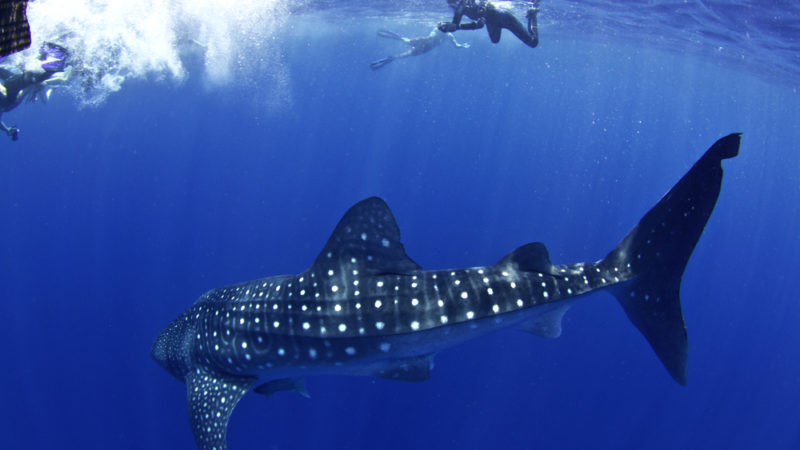 Whale Sharks -Honduras
