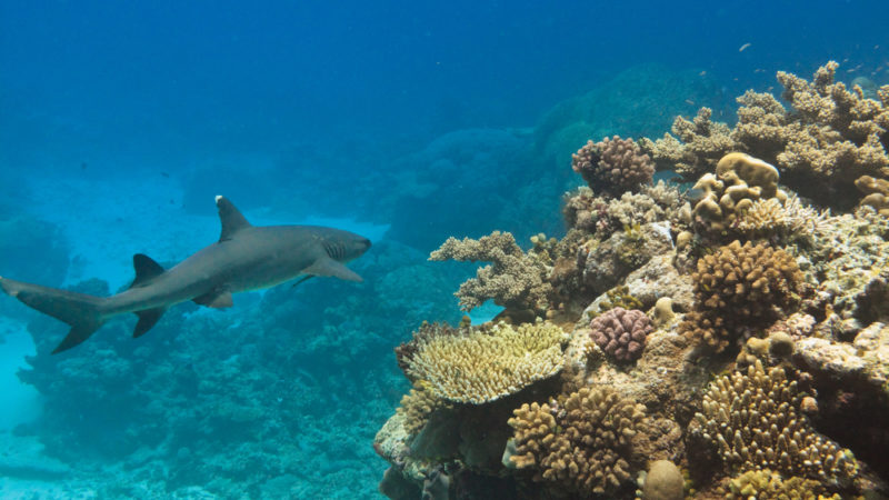 Whitetip Reef Sharks -Australia