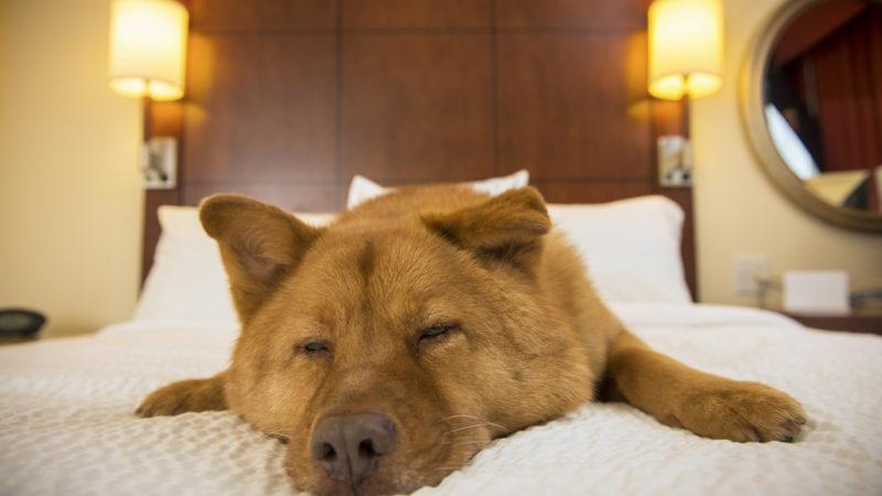 Dog in Hotel