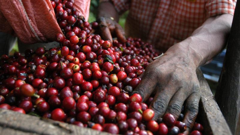 Guatamala Coffee Beans