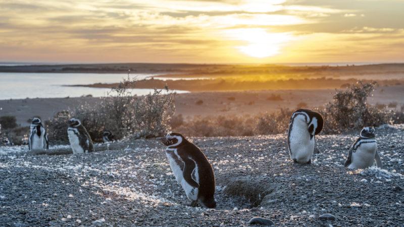 Penguins Patagonia, Argentina