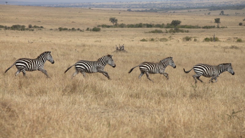 Zambia Safari, Africa