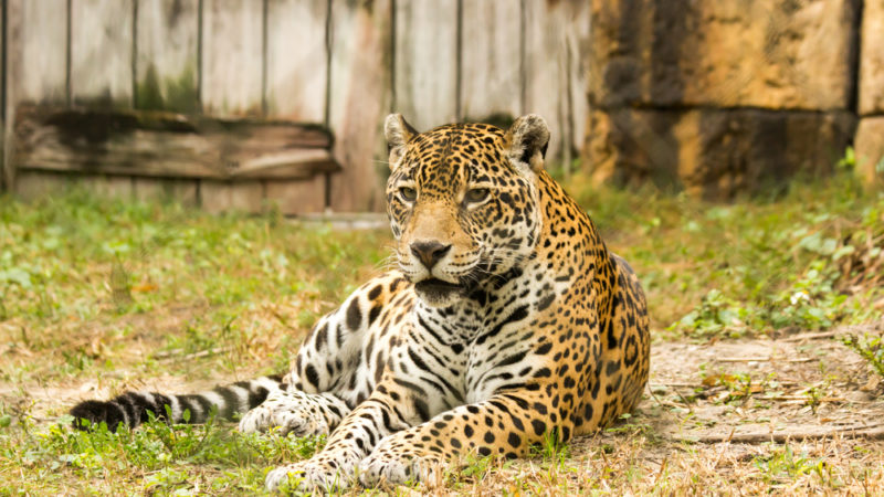 Jaguar Zoo Miami
