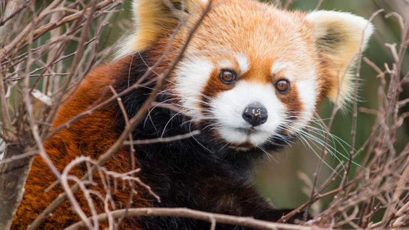 Red Panda Smithsonian National Zoological Park