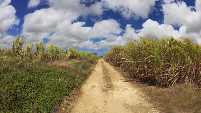 Sugar Cane Field Barbados