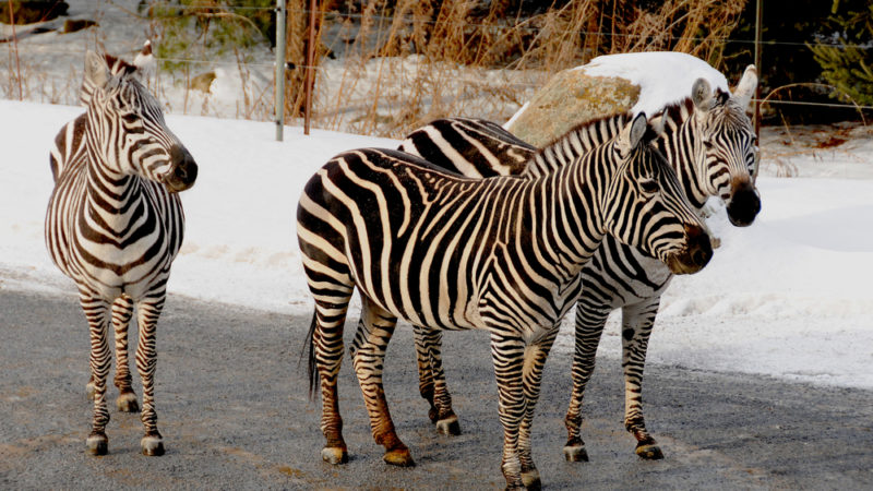 Zebras Granby Zoo