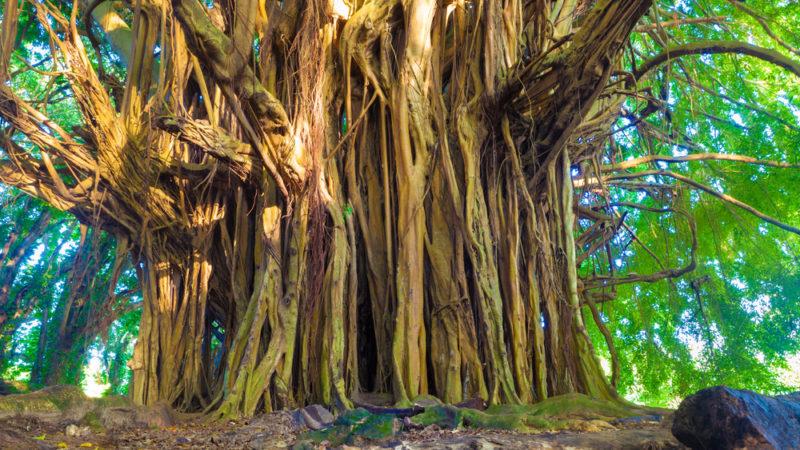 Banyan Tree, Hawaii