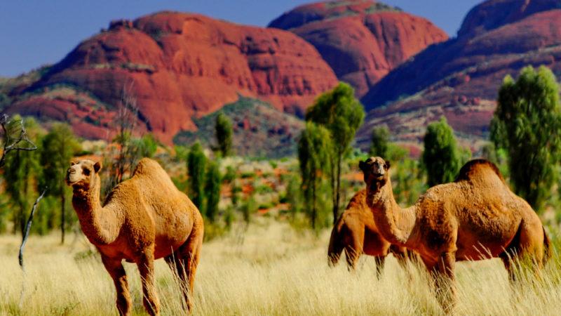 Camels Outback