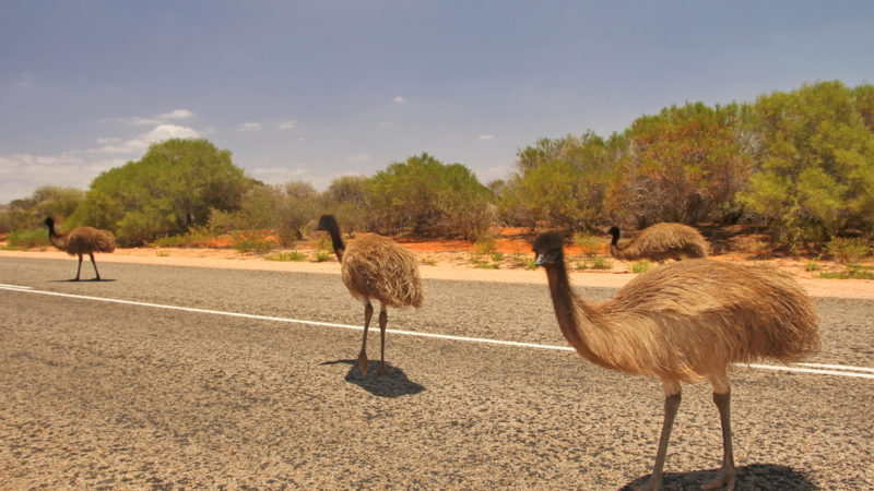 Emus outback