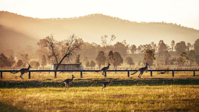kangaroos outback