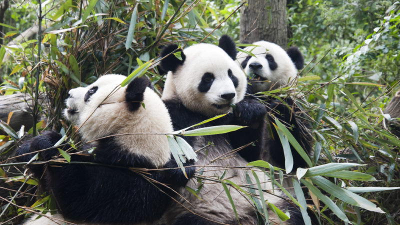 """1 panda trio sichuan china 2011"" by chensiyuan - chensiyuan. Licensed under GFDL via Commons."