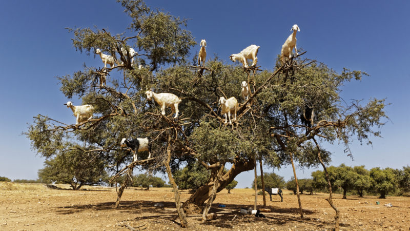 Goats in Trees, Essaouira, Morocco