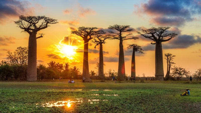 Madagascar trees
