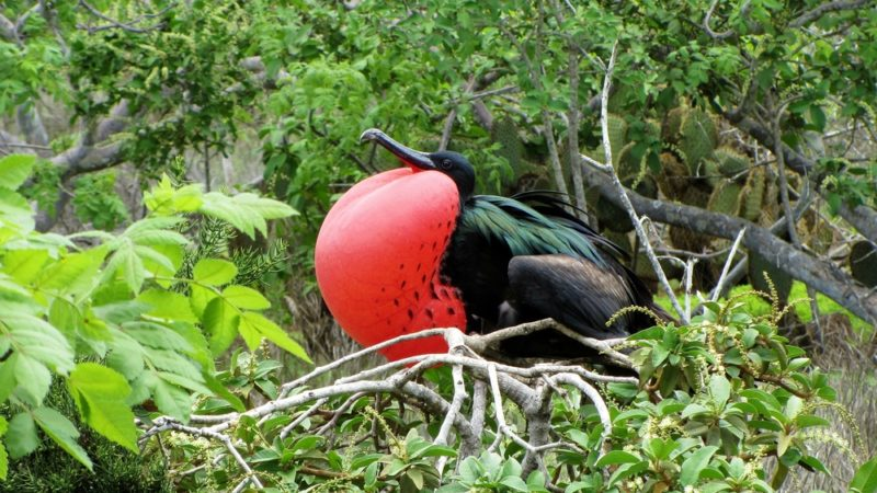 Great Frigate Bird Galapagos