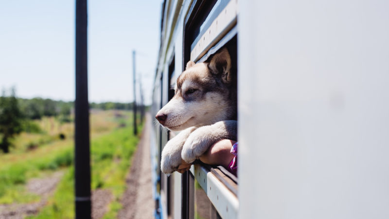 puppy on a train