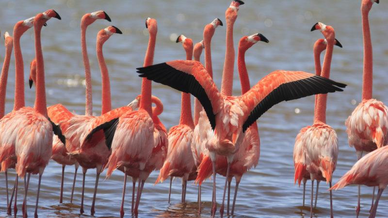 Bonaire, flamingo
