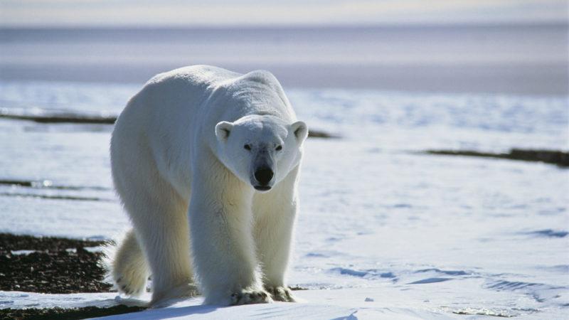 Polar bear Greenland