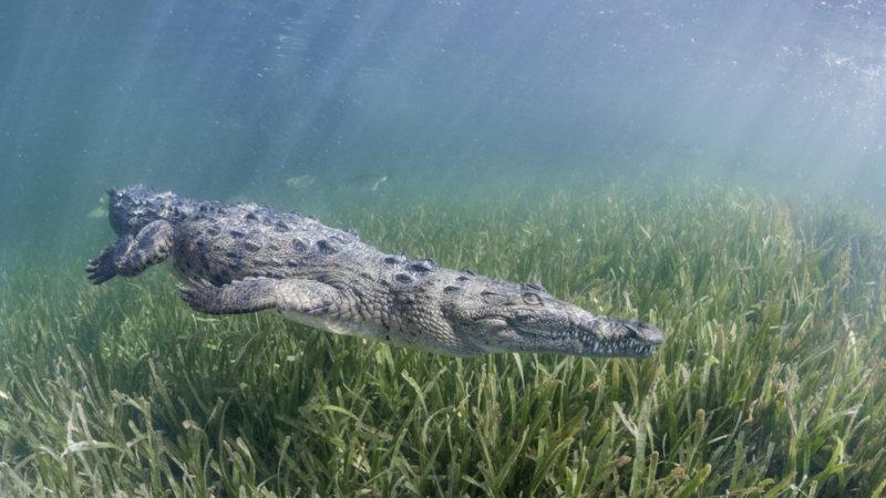 cuban crocodile cuba
