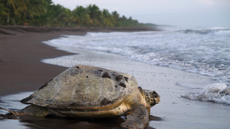 sea turtle, Tortuguero