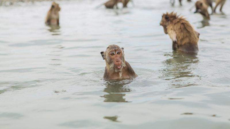 swimming monkeys thailand