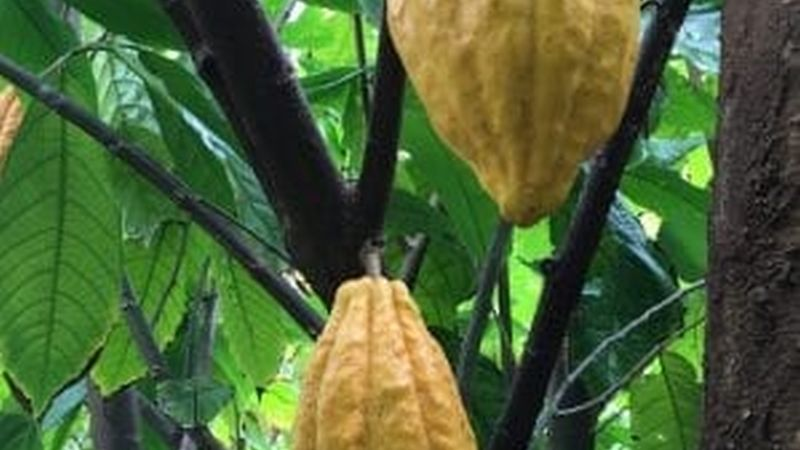 Cacao pods in Hawaii