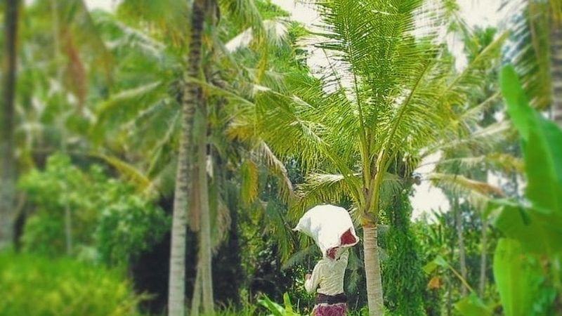 Woman walking in rice fields outside Ubud, Bali