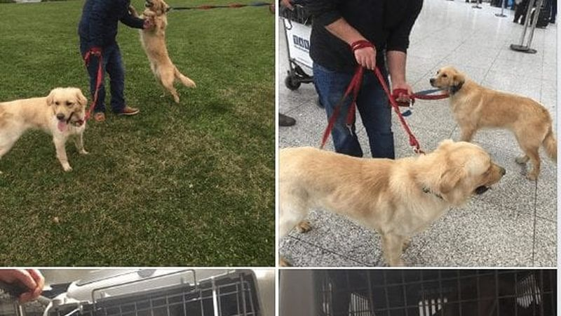 Rescue A Golden of Arizona brings rescue dogs to the U.S. from Turkey